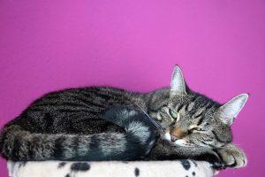 metode sterilizare pisica